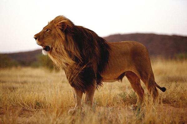 Fotosafari Löwe