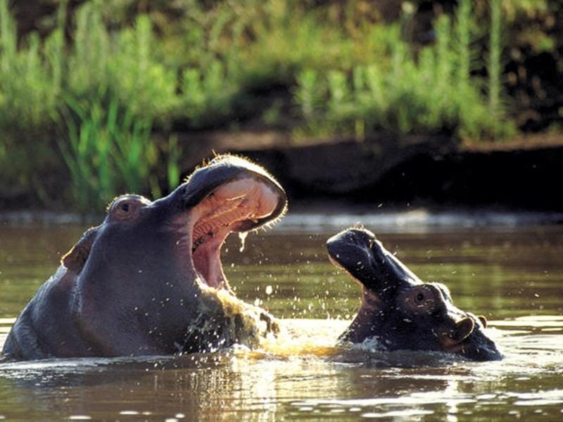 Nilpferde Kriega private Game Reservat