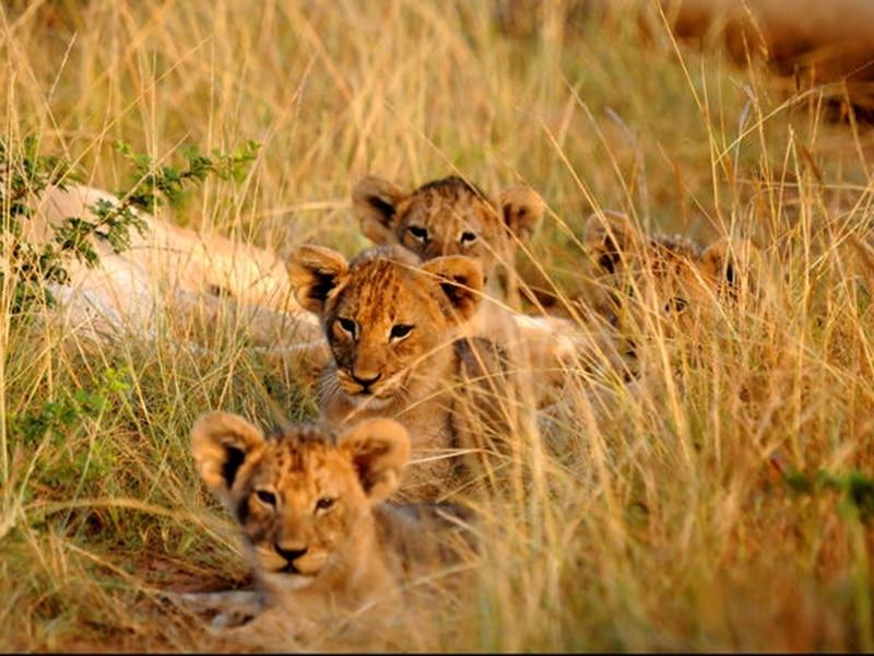 Löwenbabys im Kariega Wildreservat