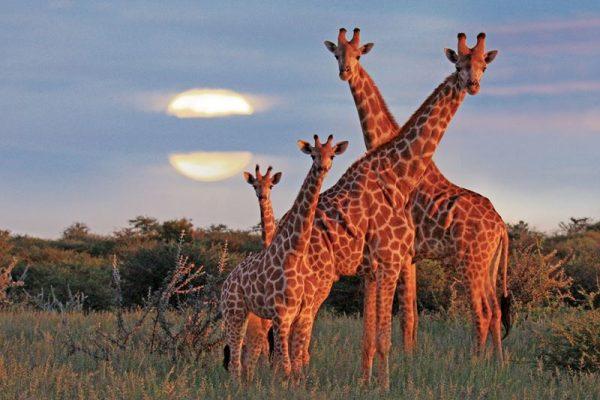Giraffen mögen warmes Wetter