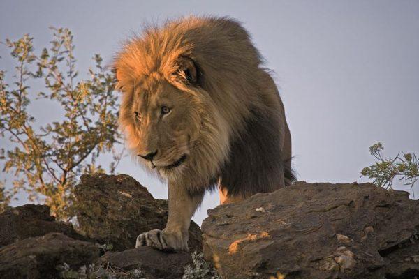 König der Löwen liebt eine warme Reisezeit