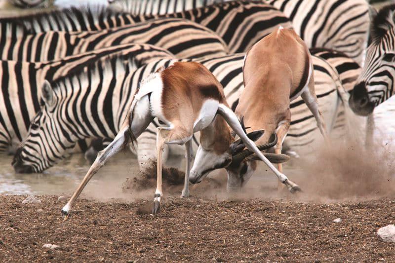 Namibia Zebras und Antilopen auf der Flucht