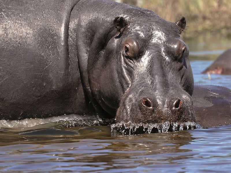 Nilpferd in Botswana