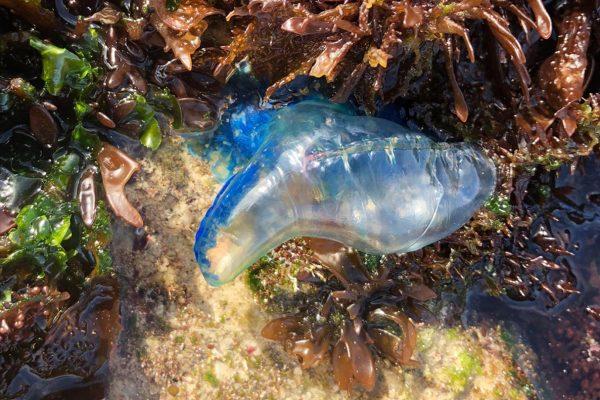 Merkwürdige blaue Qualle im de Hoop marinen Naturschutzgebiet
