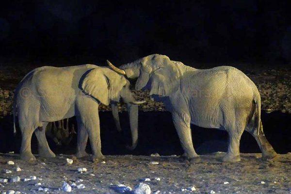 Zwei schmusende Elefanten am Wasserloch in Etosha Nationalpark