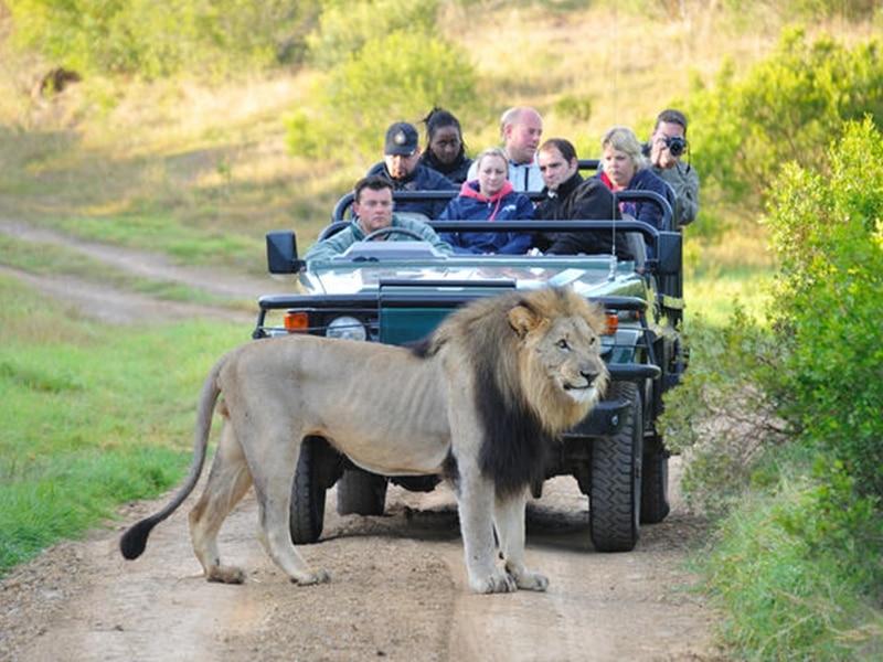 Ein Löwe posiert im Kariega Nationalpark vor einem Safari Jeep