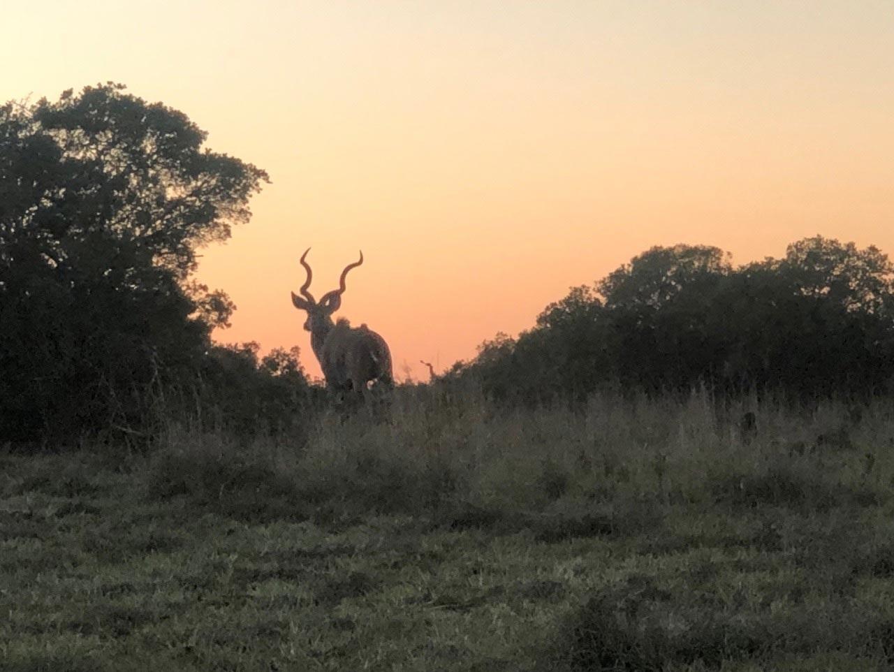 Ein Kudu im Abendrot im Addo Elephant Park