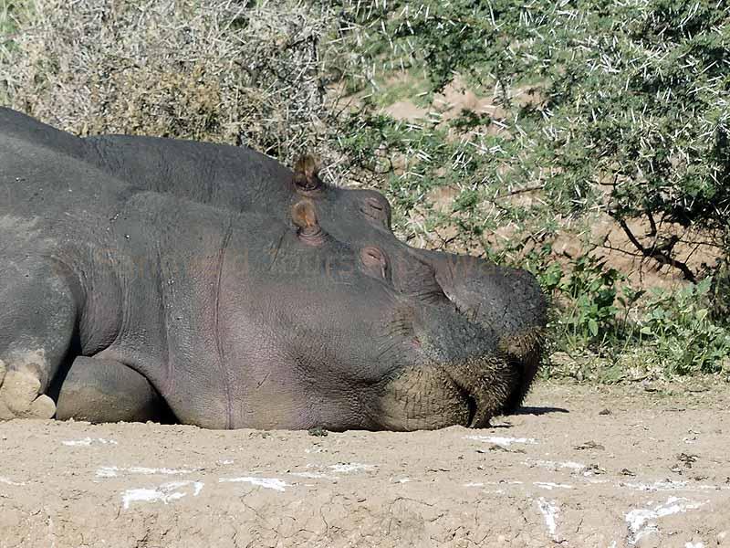 Ein glückliches Nilpferd schläft in mount etjio