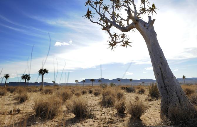 Baum in der Kalahari Wüste in Namibia
