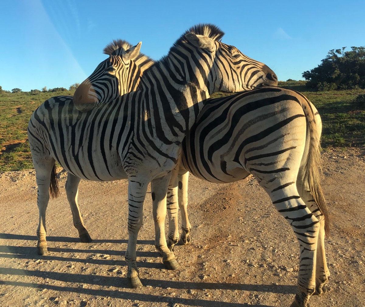 Zebras schmusen im de Hoop Nature Reserve