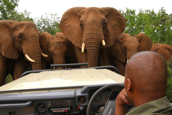 Elefanten umringen das Safari Fahrzeug