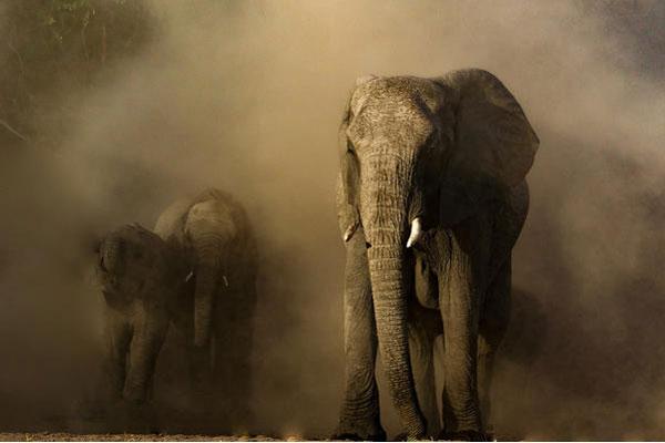 Ein gewaltiger Elefantenbulle wirbelt Staub auf