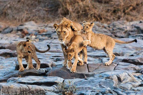 Junge Löwen spielen auf Fotosafari