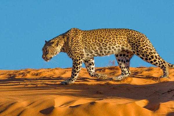 Leopard auf einer Wüstendüne im Kgalagadi in Südafrika