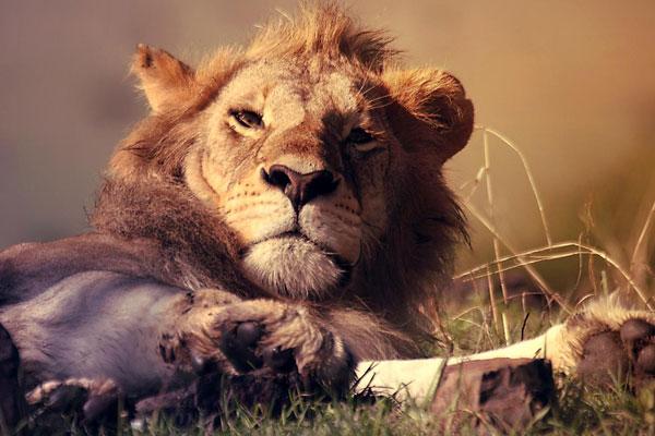 Nkhoro beheimatet viele Löwen im Busch