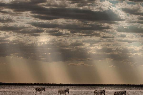 Zebras begegnen uns auf einer Namibia Reise