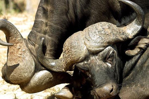 Beeindruckender Wasserbüffel