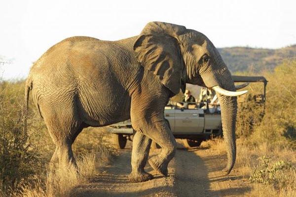 Elefant quert den Fotosafari Jeep