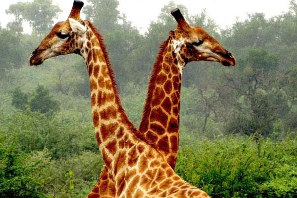 Zwei Giraffen in Südafrika