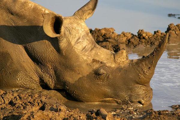 Ein sehr enstpanntes Nashorn am Wasserloch in Südafrika