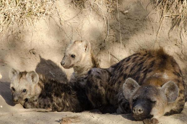 Ein junge Hyänenfamilie kuschelt