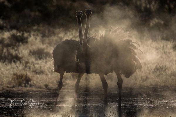 Ein straußenpaar in Südafrika fotografiert
