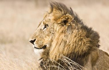 Königlicher Löwe im Kruger Nationalpark