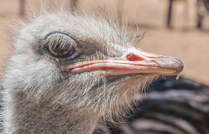 Auge in Auge mit dem Straussenvogel