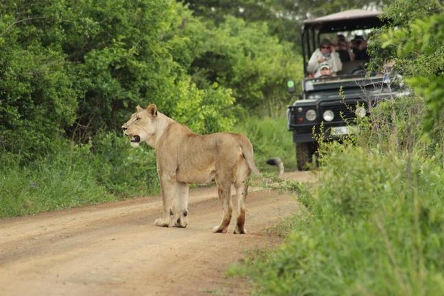 Löwe auf Pirschfahrt im Huhuluwe-Imfolozi