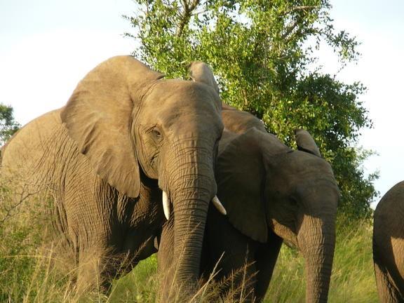 Elefanten Bullen in Südafrika