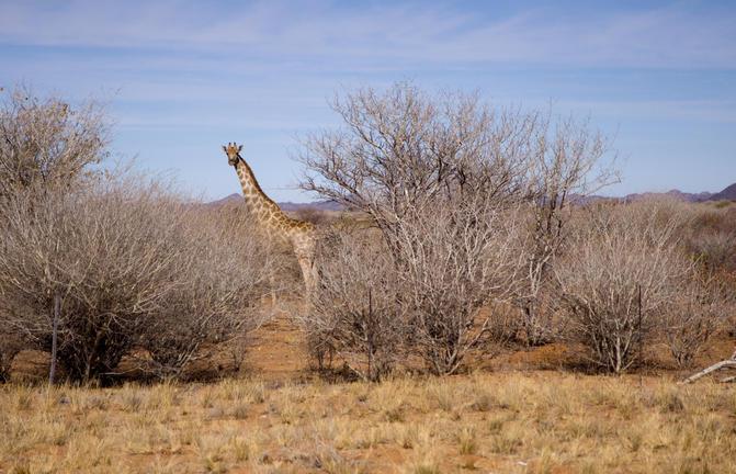 Giraffe in Kamanjab