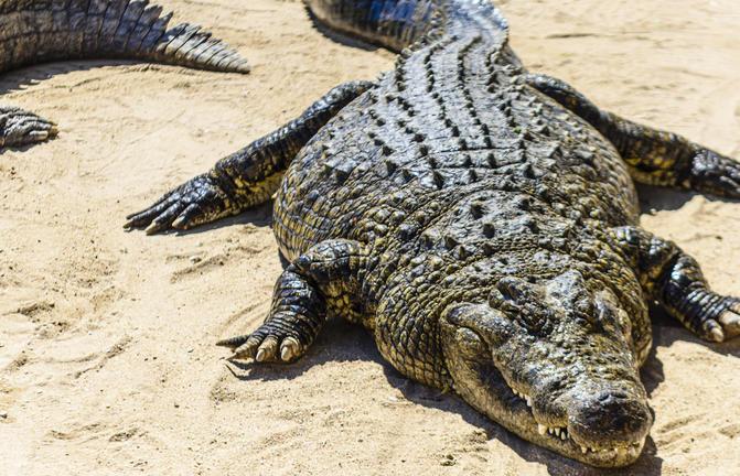 Krokodil in Namibia